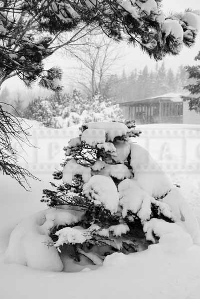 Small spruce tree covered with snow