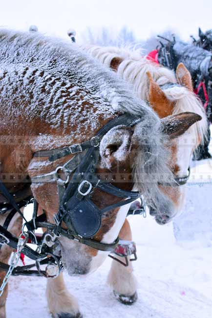 Cute snow covered horses