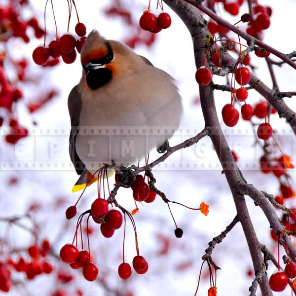 Yukon bird - Bohemian waxwing surrounded by red berries