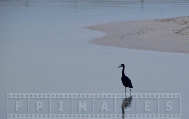 Reef heron near the shore