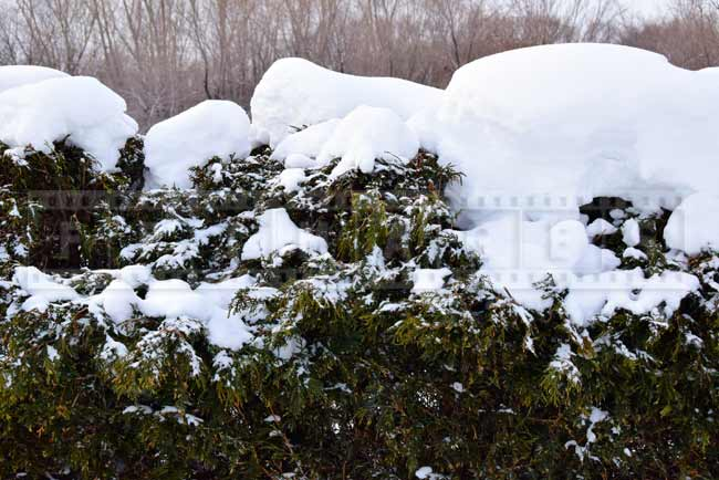 Snow on top of the hedge
