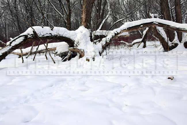 Large tree spreading branches covered in snow