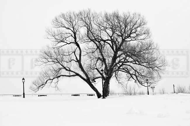 Single tree, winter landscape photo
