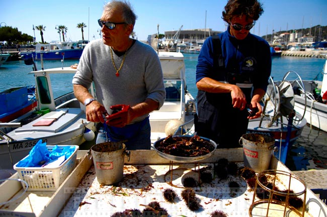 Fishermen divers preparing live sea urchins
