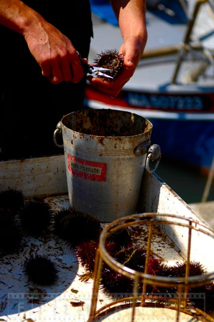 Fisherman cleaning sea urchin at Cassis harbour