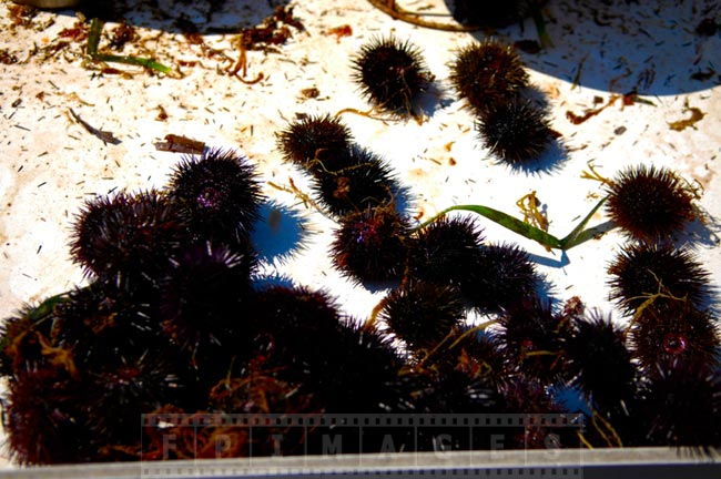 Sea urchins catch on the table