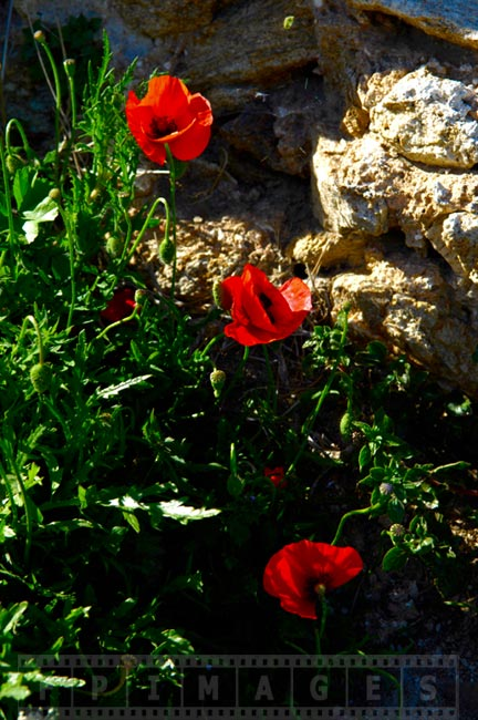 Red poppies blooming in the spring