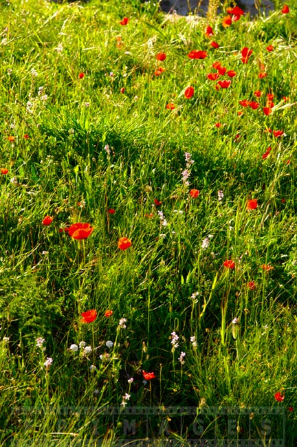 Bright red poppies and other spring wildflowers
