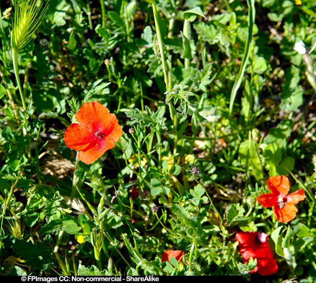 Red poppy spring flowers