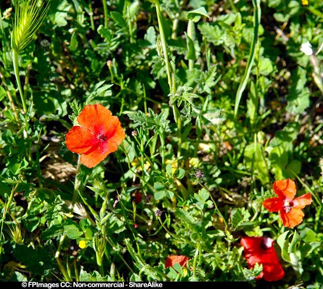 Red poppy spring flowers