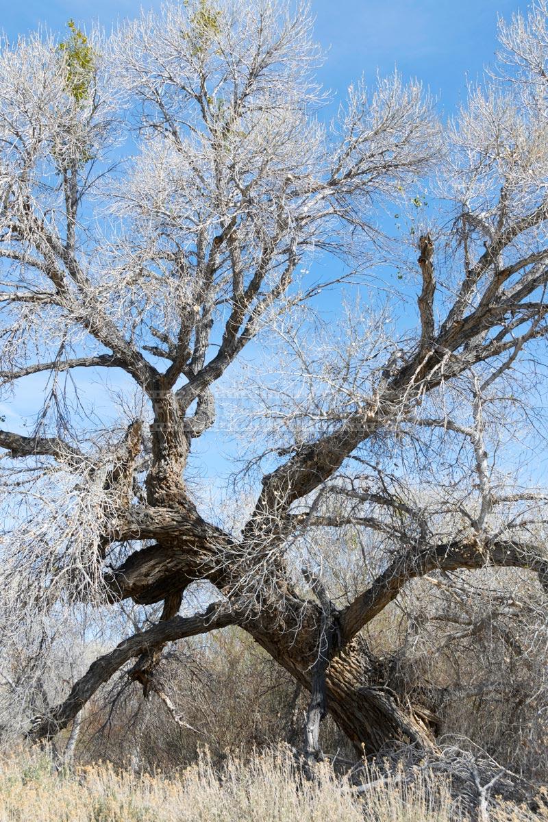 leafless cottonwood tree during winter season