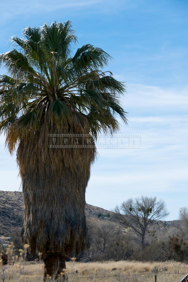 Single California fan palm