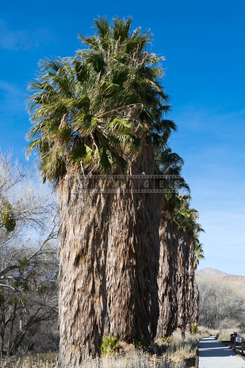 Boardwalk near tall California Fan Palms (Washingtonia filifera)