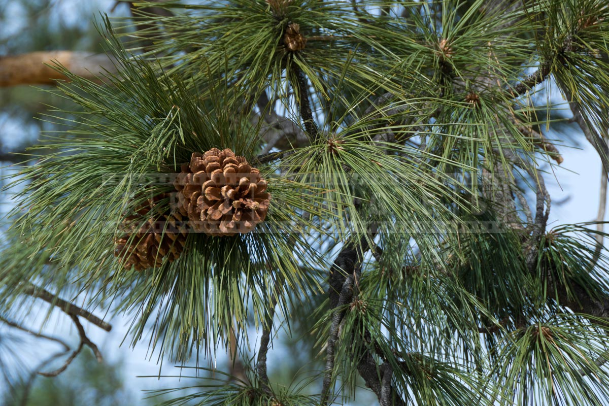 Pine cones close-up view