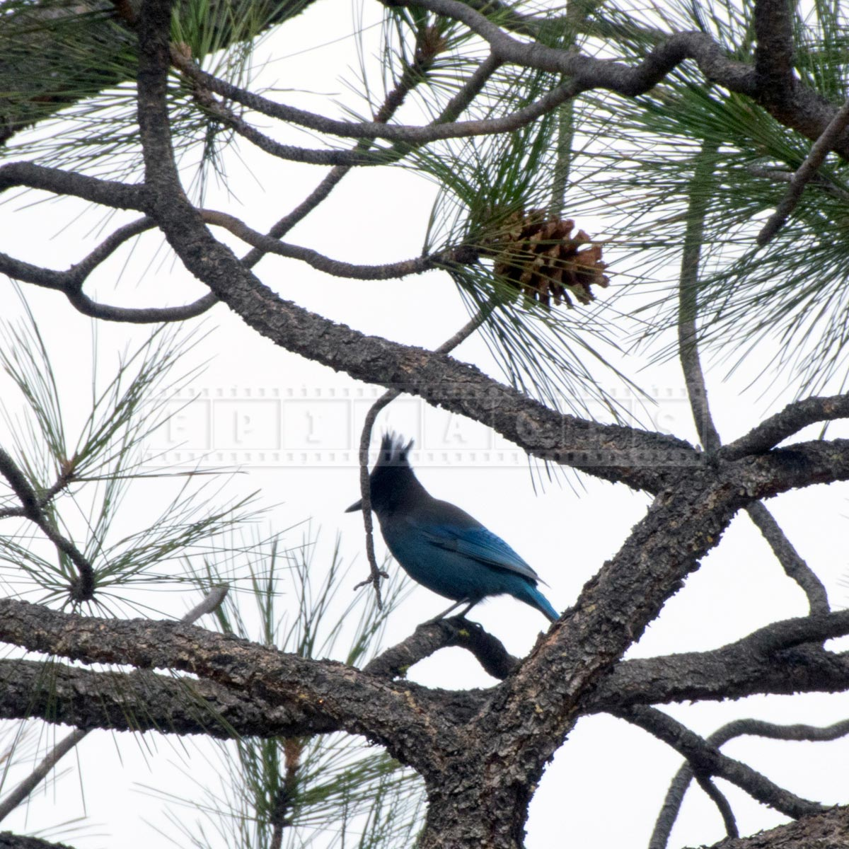 Wild blue bird - Pinyon Jay sitting on the pine