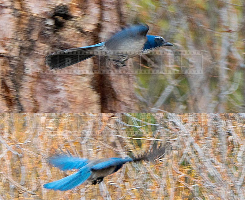 Bright blue pinyon jay in flight