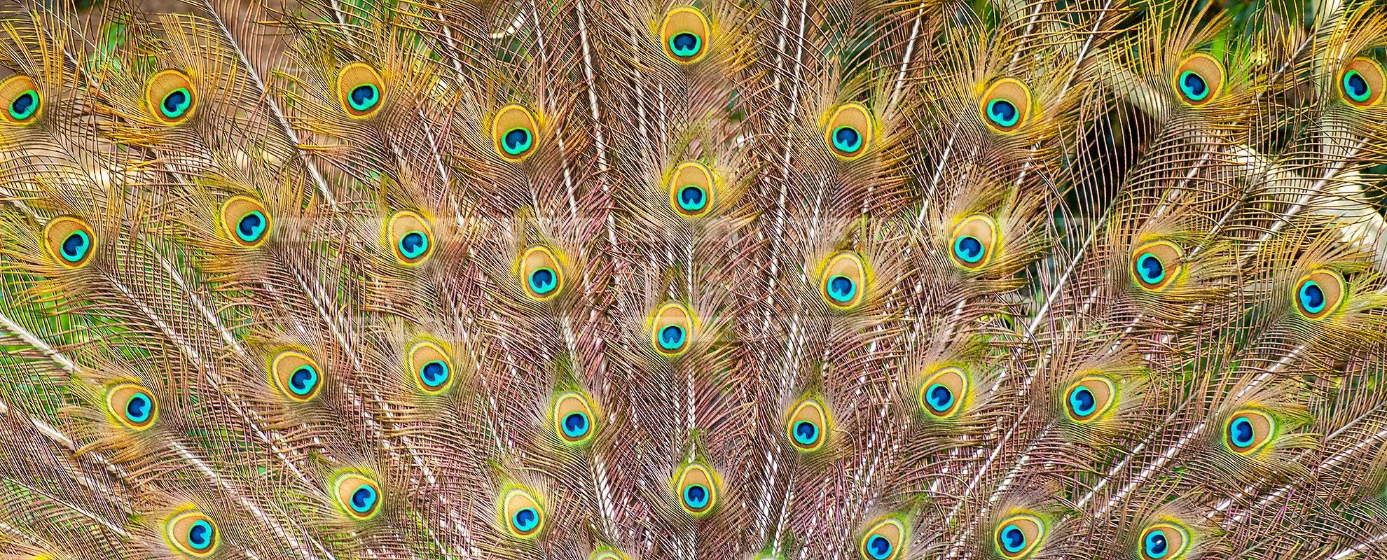 peacock tail at los angeles arboretum