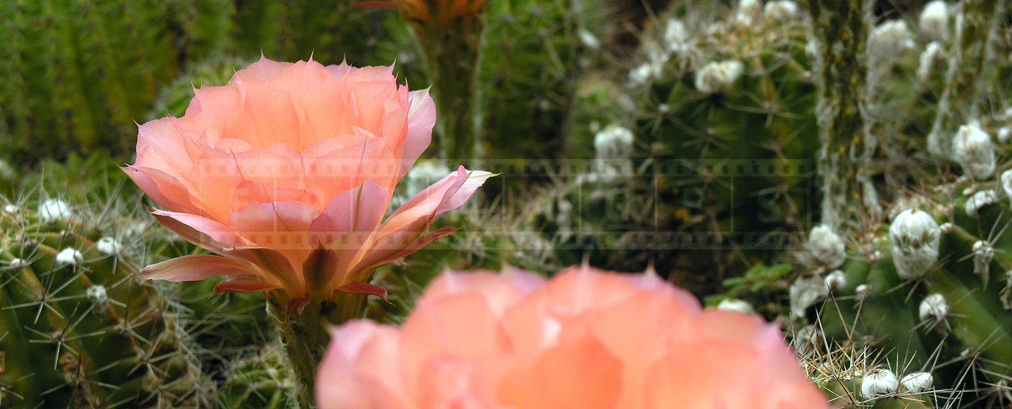 soft pink flower, succulent cactus plant