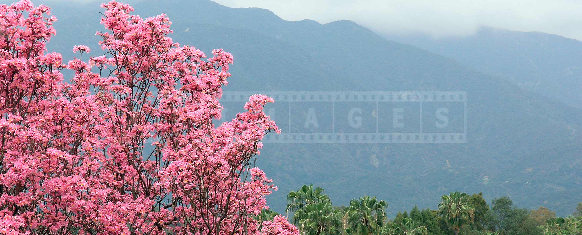 beautiful pink flowers of trumpet tree