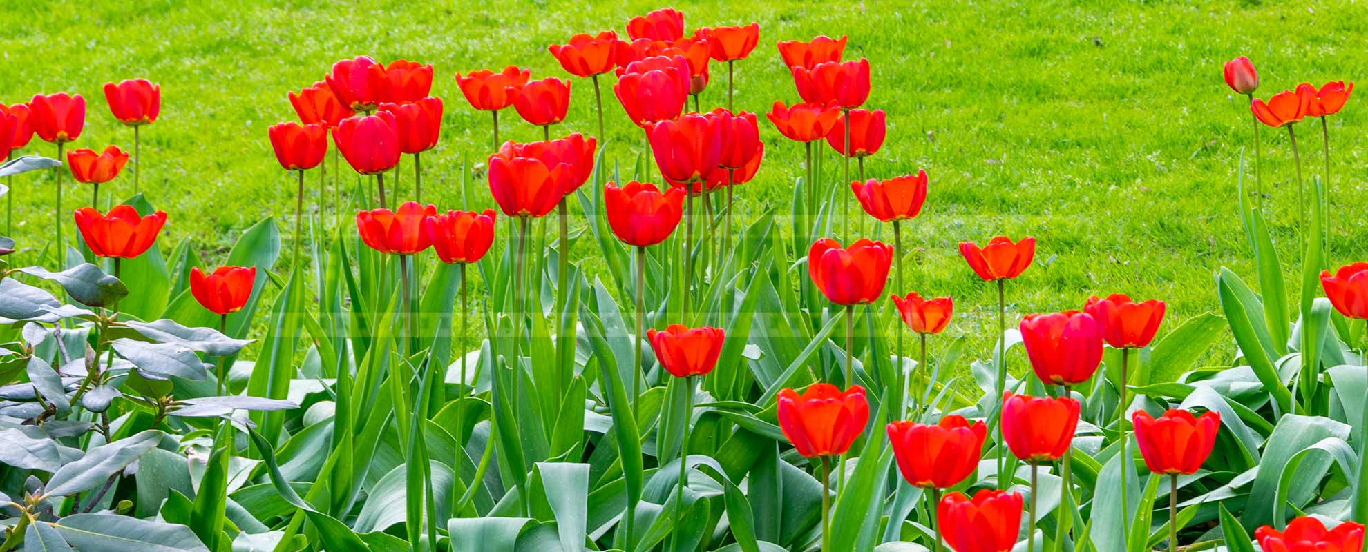 red tulips in full blossom at botanical garden