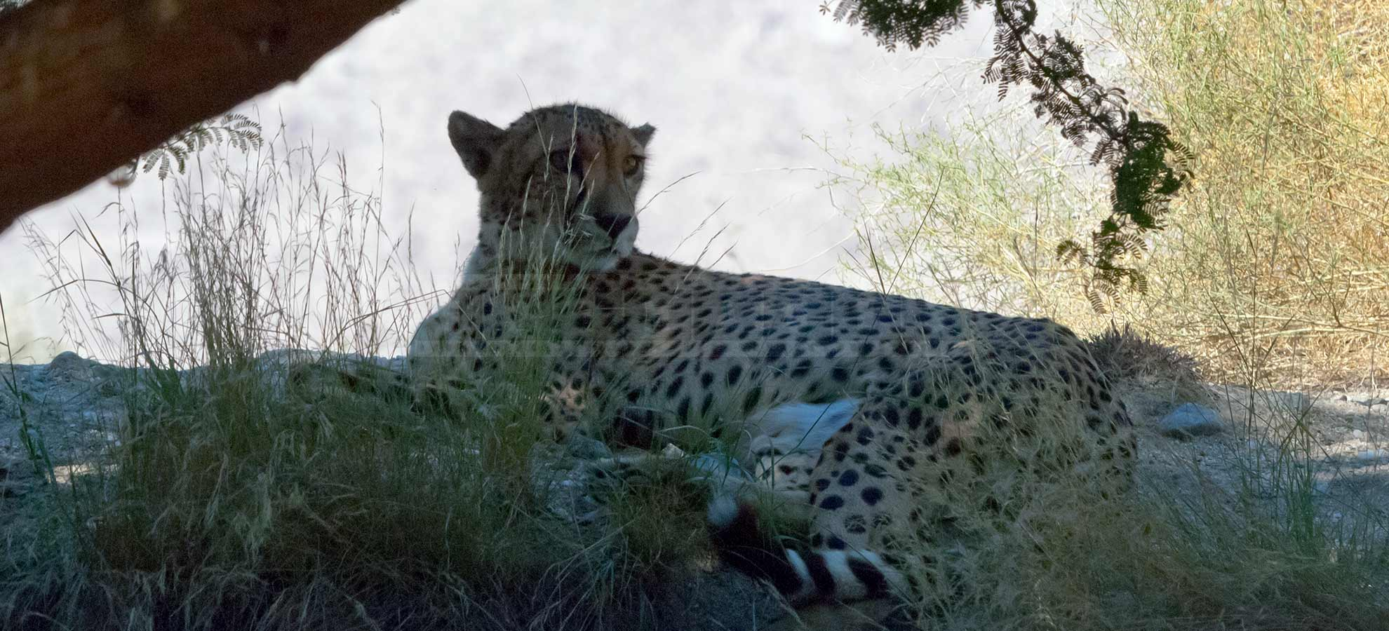 cheetah resting under the mesquite tree